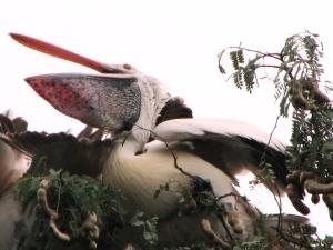 pelicans4